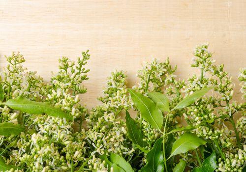 虫除け効果のあるニームの画像 虫除け 植物 虫除け 庭