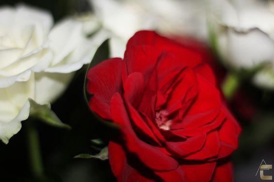 White and Red ! Lovely colors ... Blanche et rouge, les couleurs de l'amour ...