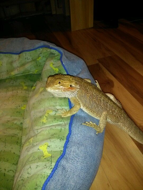 Bearded dragon getting comfy in the dogs bed