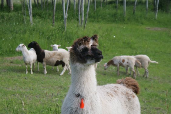 "McLane Farms: ""Two llamas take care of protecting our sheep from predators while they are out in the field. Magellan and Tivo take very good care of our flock and are gentle and friendly towards people. A perfect combination!"""