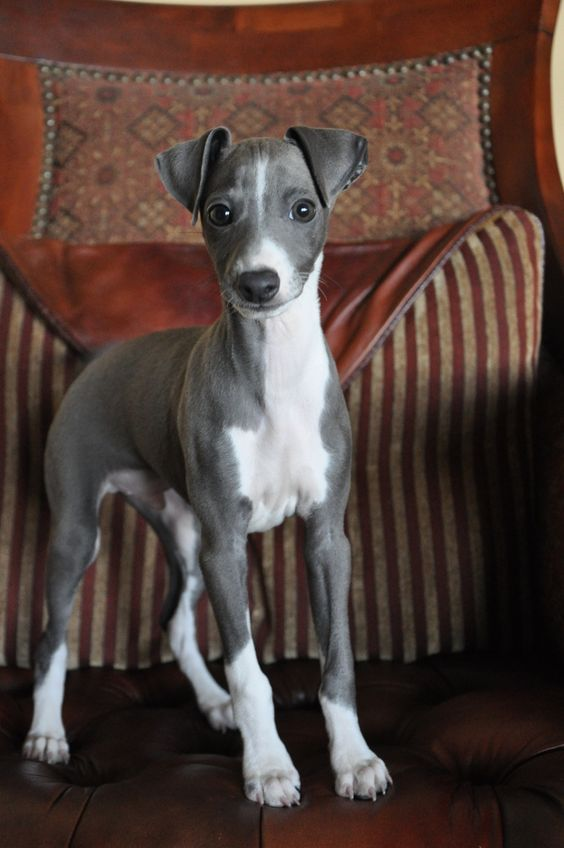 Little one...Italian Greyhound puppies are just angelic!