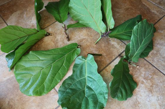 How To Prune And Propagate A Fiddle Leaf Fig Tree Fiddle Leaf Fig Tree Fiddle Leaf Fig Fiddle Leaf Tree