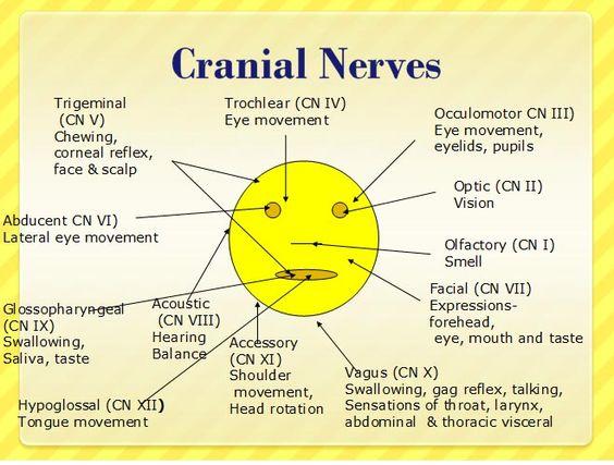 Mnemonics for Cranial Nerves   ... ://www.nursereview.org ...