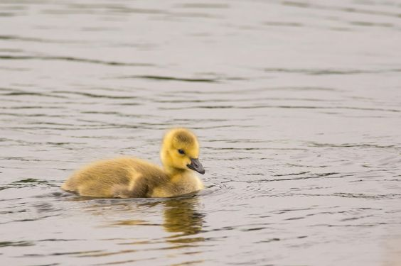 Gosling - Canada Goose gosling at Lake Ellis in Athol, MA. This one seemed to be lagging behind it's siblings and parents as they swam along the edge of the lake.  © 2014 David Wornham Photography