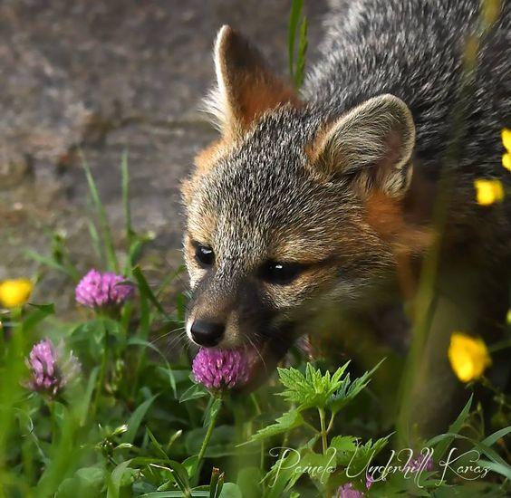 BIRDS & DAFFODILS: FOX KIT TASTING A FLOWER http://birdsanddaffodilsbylyndabergman.blogspot.com/2016/10/fox-kit-tasting-flower.html: