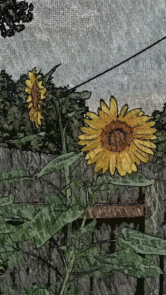 A couple of my sunflowers this morning :)