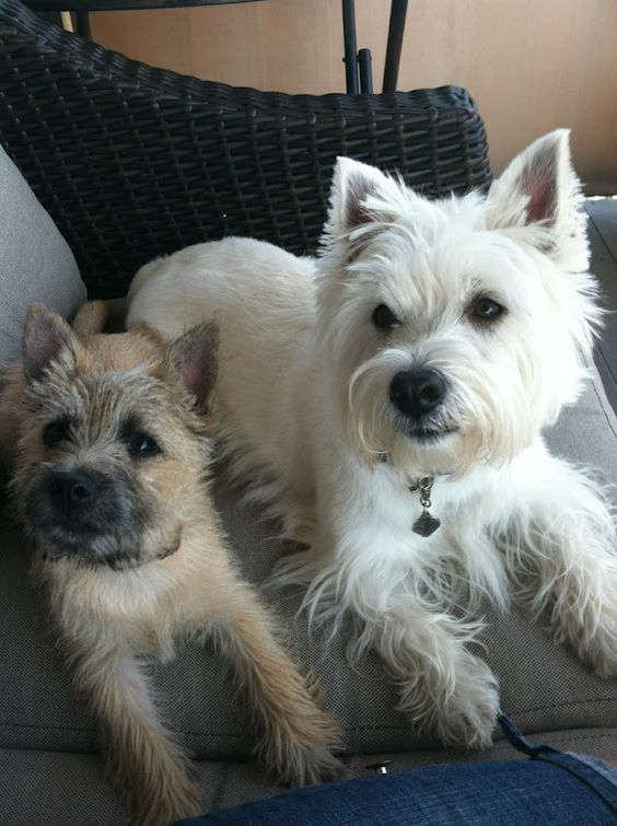 White Cairn Terrier Puppy Hoke the Westie and hi...