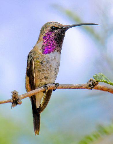 Lucifer Hummingbird -male
