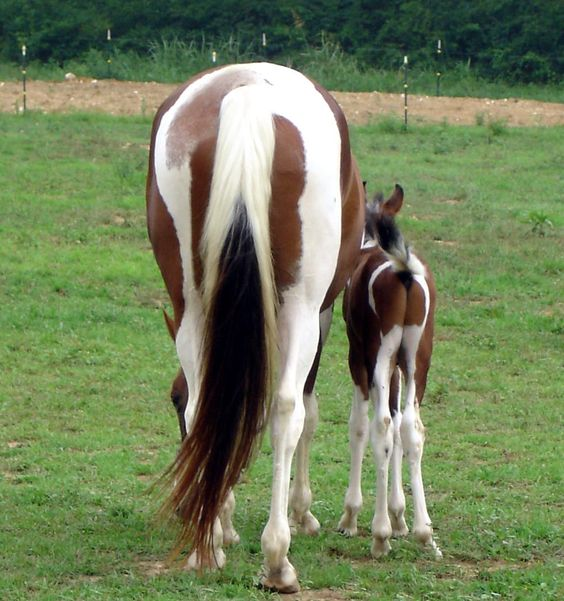 Selective Breeding, American Saddlebred And Trotter On