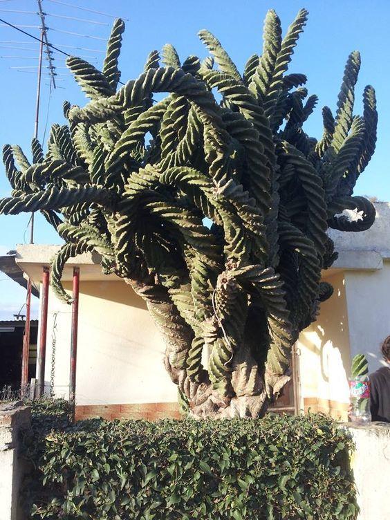 Cereus spiralis: