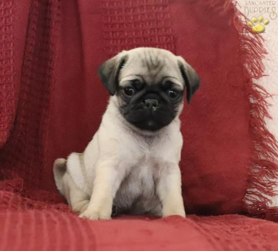 Twix Pug Puppy For Sale In Mount Joy Pa Lancaster Puppies