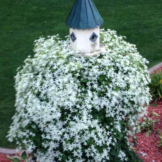 This clematis went wild this year