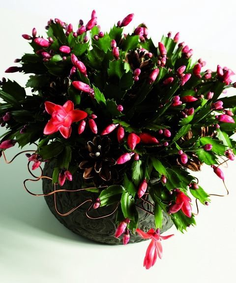 Grudnik Rosliny Doniczkowe Modne Zima Flowers House Plants Holiday Decor