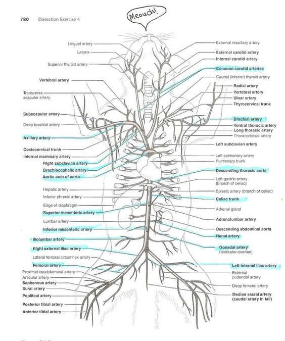 anatomyforme Diagrams of Feline Arterial and Venous Systems – Cat Dissection Worksheet