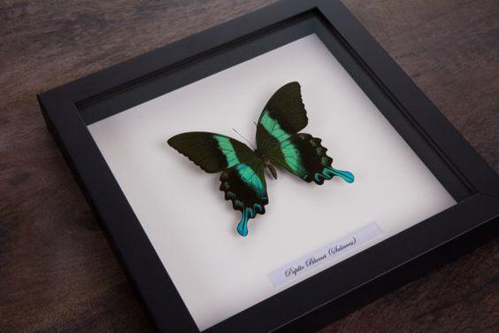 The Majestic Green Swallowtail Butterfly in door ButterflyArtNL