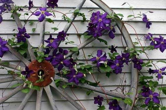 Clematis in full bloom. Always keep the roots shaded from the sun.