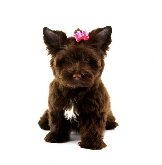 Bambi Yorkshire Terrier Puppy Puppyspot Yorkshire Terrier