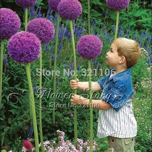 100 Pcs Heirloom Giant Allium Globemaster Allium Giganteum Flower Seeds Item Specific Product Type Bonsai Use Allium Flowers Planting Flowers Backyard Garden