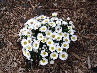 Little White Aster in full bloom!!