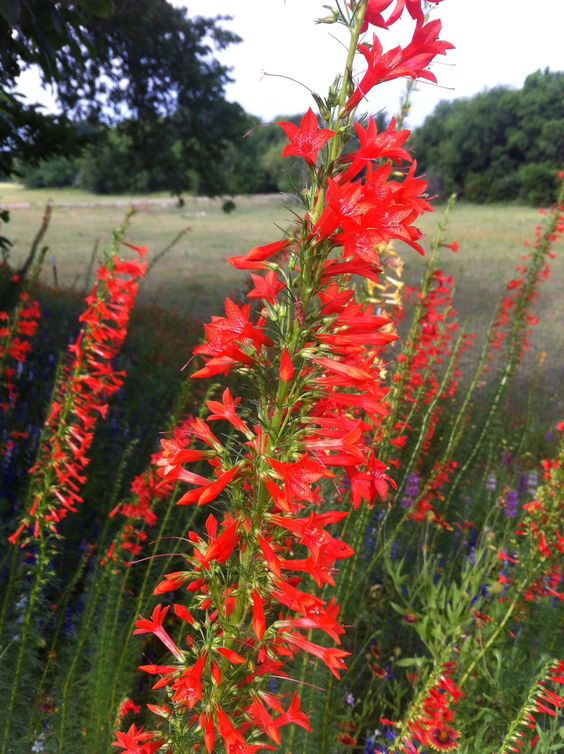 Cardinal flowers. Neli Spurrell