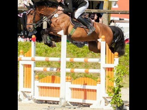 2009 Holsteiner jumper mare 140 cm level 16.3 hh www.sporthorses-online.com