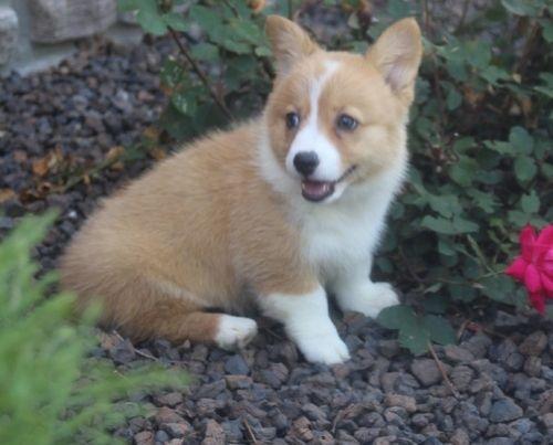 Pembroke Welsh Corgi Puppies For Sale Los Alamitos Ca In 2020 Pembroke Welsh Corgi Puppies Welsh Corgi Puppies Corgi Puppies For Sale