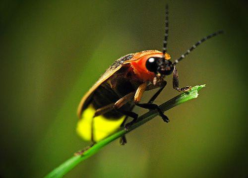Lightening bugs....: