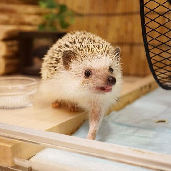 ハリ、前脚ぴーん #hedgie #hedgehog #ハリネズミ #はりねずみ #pet #刺猬 #ふわもこ部 #玻璃