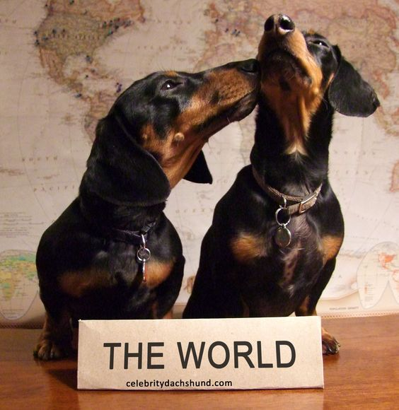 dachshunds speech They can read our body language, facial gestures, and speech patterns to  empathize with us they even recognize certain words and vocal tones and  associate.