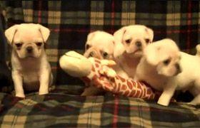cute Mops puppies