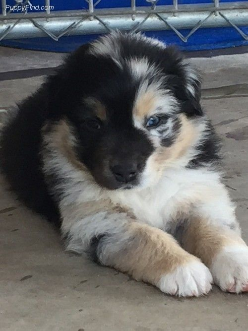 Unique Markings On This Australian Shepherd Puppy