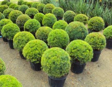 Eugênia - Palmeiras Plantas - Mudas, Árvores, Frutíferas, Ornamentais, Palmeiras