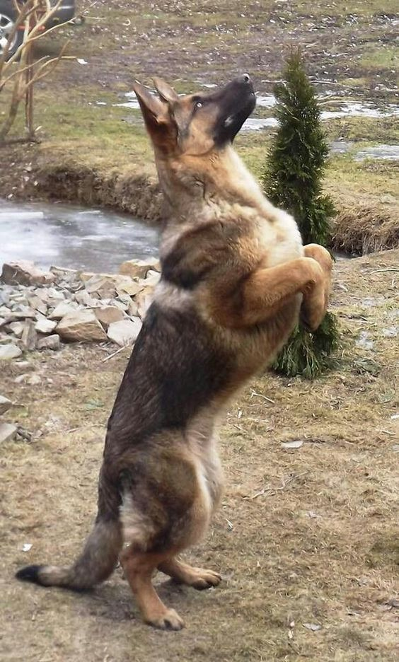 This dog is so strong, my Maximus does this also, in the backyard while watching squirrels run through the tree tops. #germanshepherd
