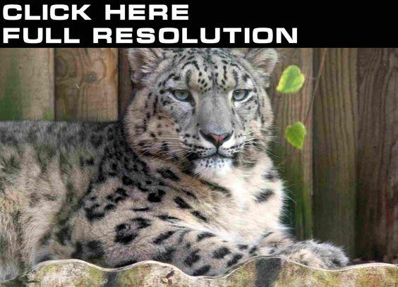 Fondos de Pantalla Grandes felinos Leopardo de las nieves Contacto ...