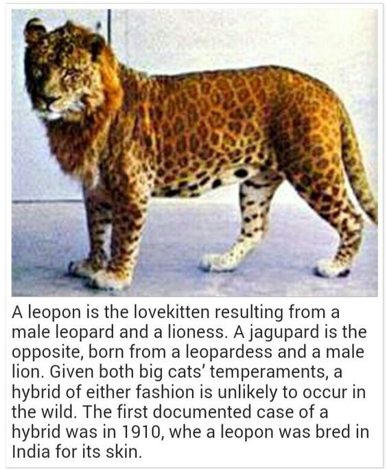leopard cheetah hybrid - photo #27