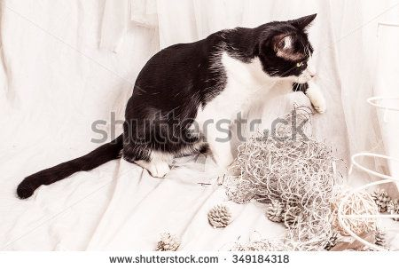 Black and white cat play with Christmas decorations in the studio - stock photo