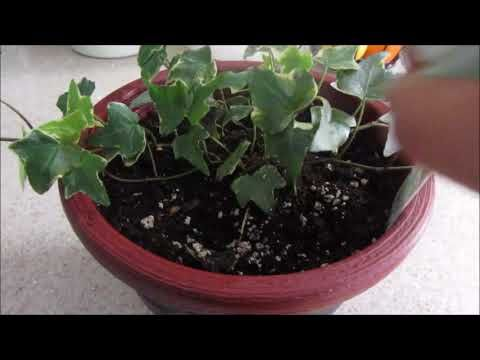 English Ivy With Termites English Ivy Indoor Plants Plant Lover