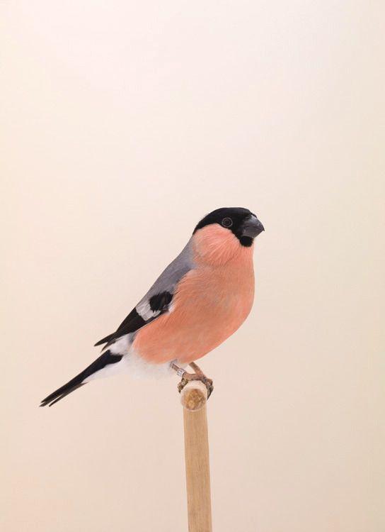 Pin By Jan Jetten On Tweet Animals Pet Birds Bullfinch