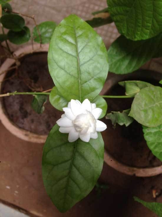 Pin On Gardenia Care