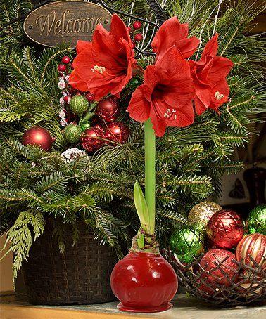 This Red Giant Waxed Amaryllis Bulb Is Perfect Zulilyfinds With Images Amaryllis Bulbs Amaryllis Plant Amaryllis