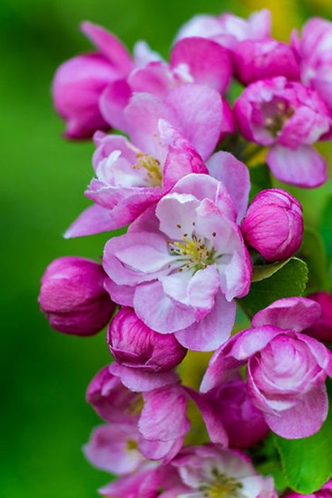 Pink and Pretty Apple Blossoms: