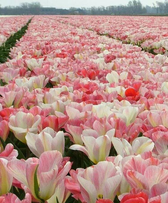 白と薄桃の綺麗で美しい花畑