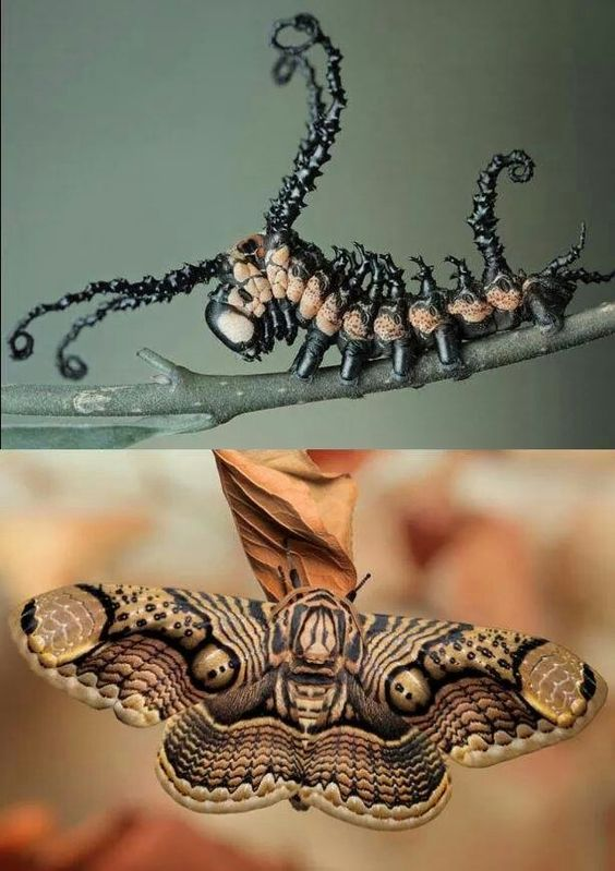 Brahim moth....before and after!