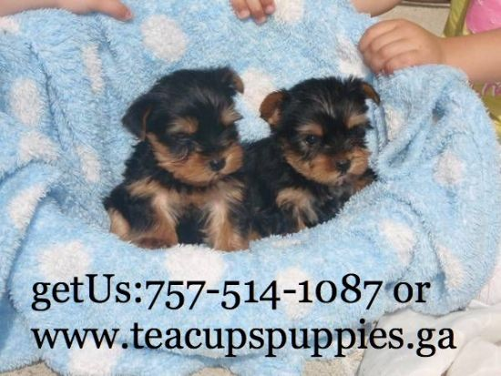 Cute And Adorable Yorkie Puppies For Adoption Yorkie Puppies For Adoption Teacup Yorkie Puppy Puppy Adoption