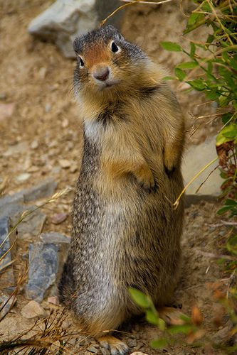 Ground Squirrel: