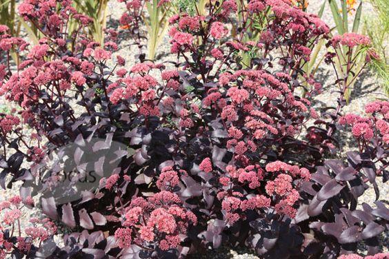 Buy stonecrop Sedum telephium '(Atropurpureum Group) Purple Emperor': Delivery by Crocus.co.uk