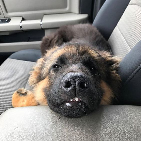 My Hoomans Say My Two Front Teeth Make Them Laugh Odin Thegreat Gsd Germanshepherd Germanshepherds Germanshepherdme German Shepherd Dogs Dogs Puppies