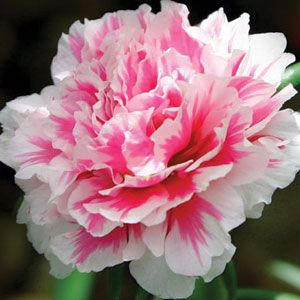 Carnation Nobbio Pink Delight Garden Express In 2020 Garden Express Carnations Planting Bulbs