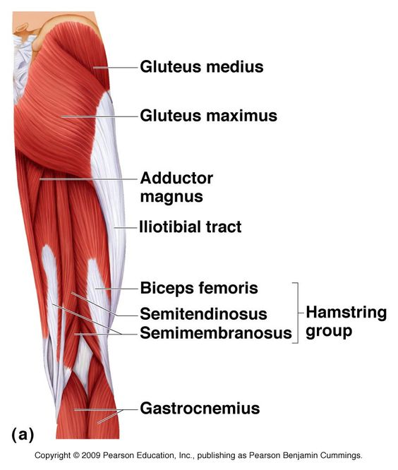 Posterior hip & thigh Muscles | Anatomy | Pinterest ...