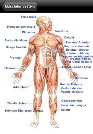 14 mejores imágenes sobre Human anatomy en Pinterest | Músculo ...